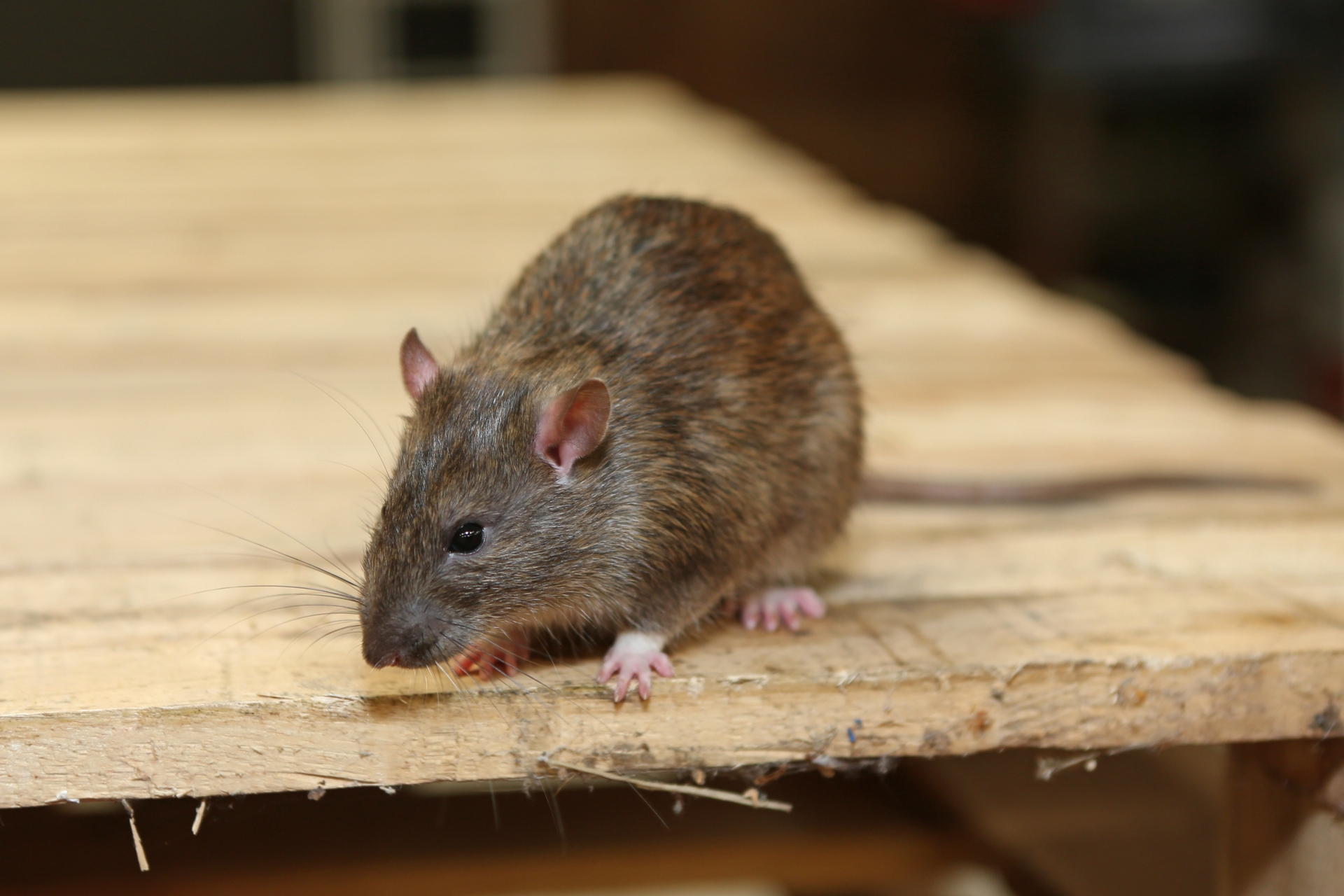 Rat extermination, Pest Control in Plaistow, E13. Call Now 020 8166 9746