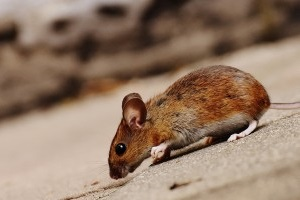 Mouse extermination, Pest Control in Plaistow, E13. Call Now 020 8166 9746