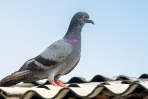 Pigeon Pest, Pest Control in Plaistow, E13. Call Now 020 8166 9746